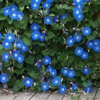 Ladolež plavi HEAVENLY BLUE
